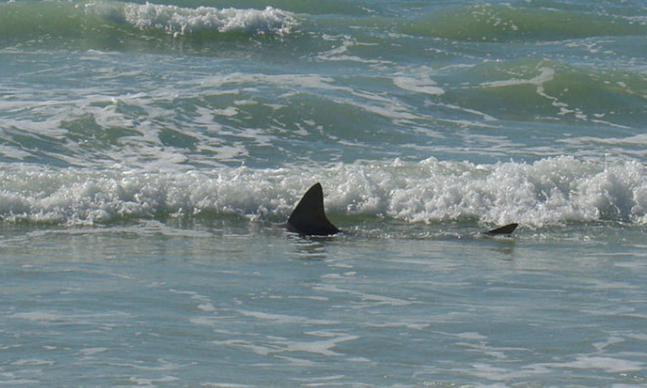 Shark On Siesta Key Beach Sarasota