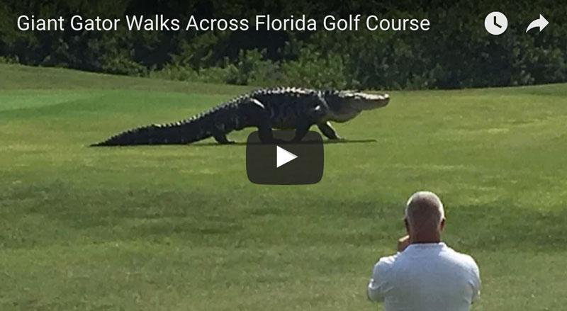 Giant 15 Foot Alligator Walks Florida Golf Course Jodat